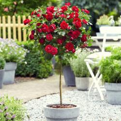 Augststumbru rozes