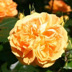 Bernstein Rose 3