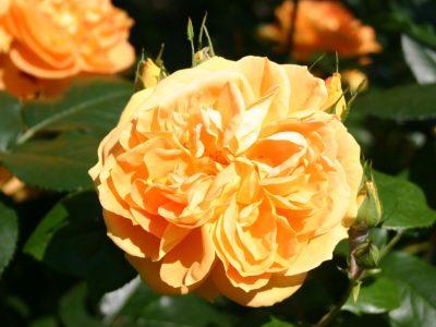 Bernstein Rose 1