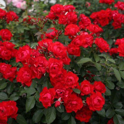 Black Forest Rose 1