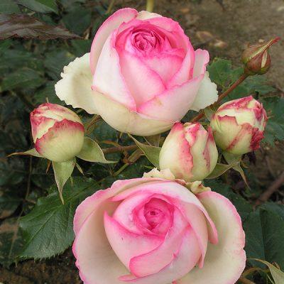 Eden Rose'85 1