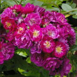 Perennial Blue 2