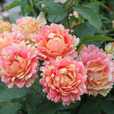 Rose des Cisterciens 1