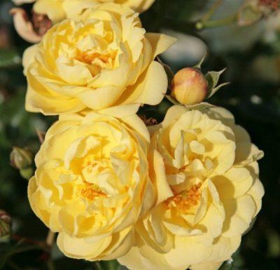 Sunny Rose 1
