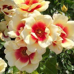 Babylon Eyes kolekcijas rozes