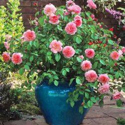 Jaunākās Rožu Šķirnes