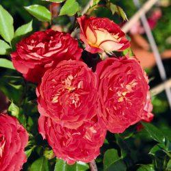 Starlet Rose Carmen 2