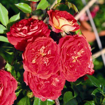 Starlet Rose Carmen 1