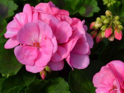 Big EEZE Pink 1