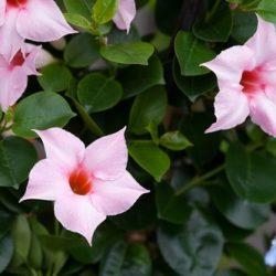 Cream pink 5