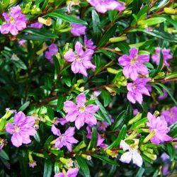 Cuphea Lilac 2