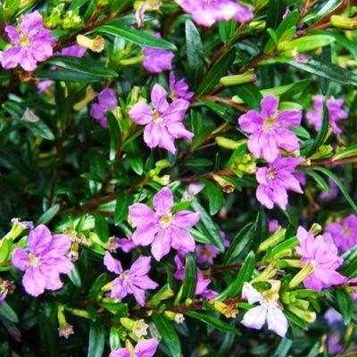 Cuphea Lilac 1