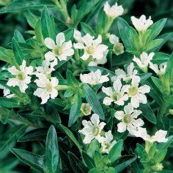 Cuphea White 2