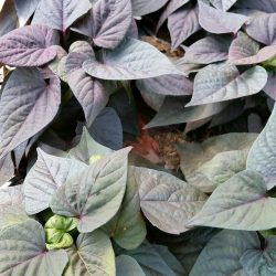 FloraMia Cameo 1