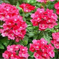 Lindolena pink 8
