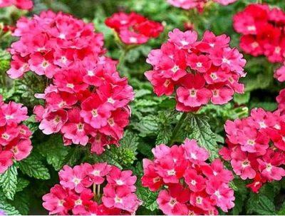 Lindolena pink 1