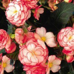 Nonstop Rose Petticoat 4