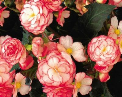 Nonstop Rose Petticoat 1