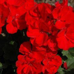 Savannah Red 7