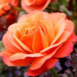 Coral Lion Rose 2