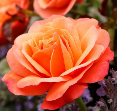 Coral Lion Rose 1
