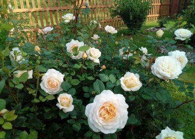 Crocus Rose 3