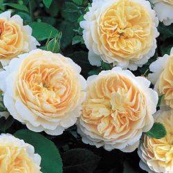 Crocus Rose 8