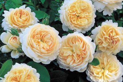 Crocus Rose 1