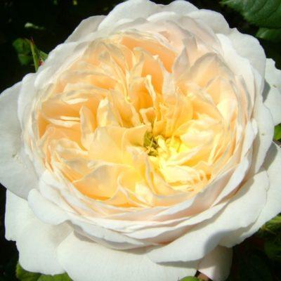 Crocus Rose 2