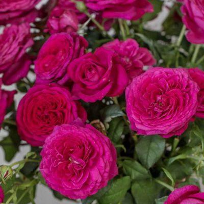 Johan Wolfgang von Goethe Rose 3