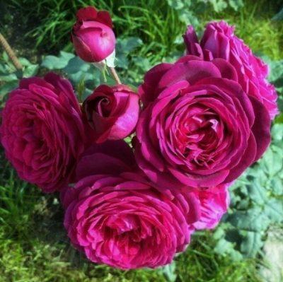 Johan Wolfgang von Goethe Rose 2