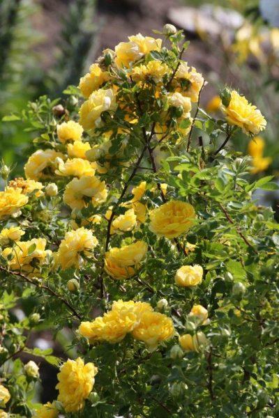 Persian Yellow 1