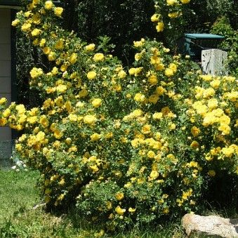 Persian Yellow 3