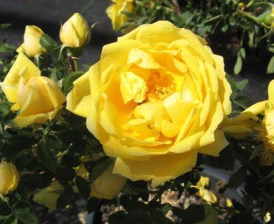 Persian Yellow 2