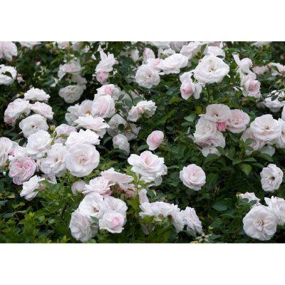 Aspirin Rose 2