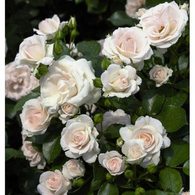 Aspirin Rose 1