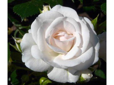 Aspirin Rose 3