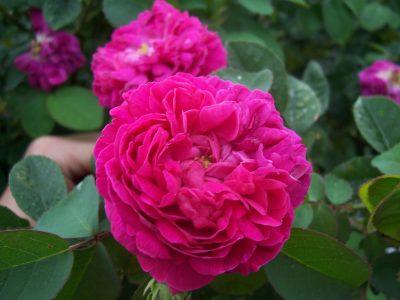 Rose de Rescht 1